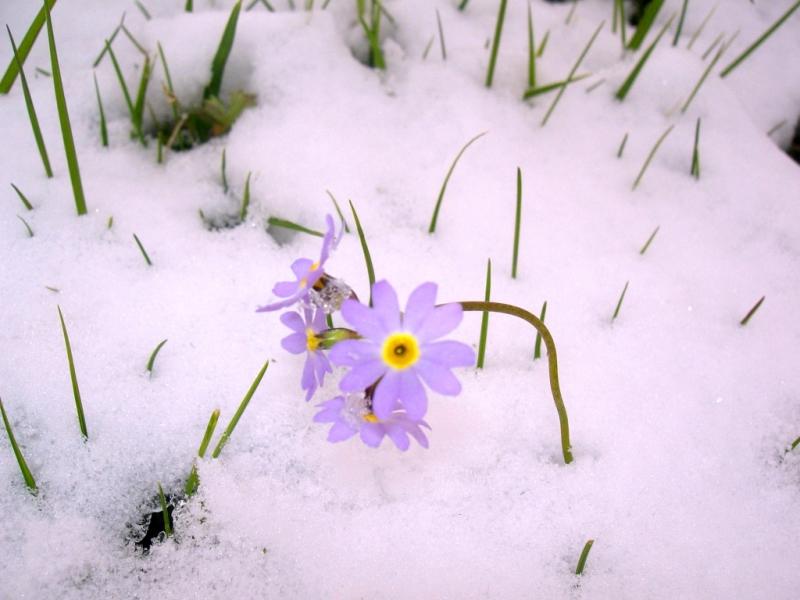 Лавреньева Олеся цветы в снегу